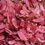 Bloodgood japanese maple seeds 2013