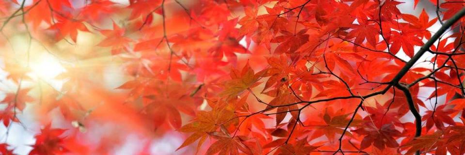 japanese-maple-slider3